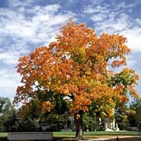 a tree in color at Carleton