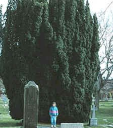 a yew tree at a graveyard in Wales