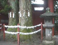 shimenawa holy rope around a tree delineating a holy space for a respected creature, see the activities at Akita grove for Mid-winter when they re-enacted the sealing of a cave to keep the sun-goddess from returning into it.