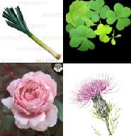 top left: Leaks from Wales, top right Clover from Ireland, bottom left: Rose from England and bottom right: Thistle from Scotland