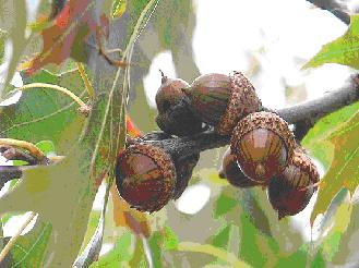 Acorns on the branch