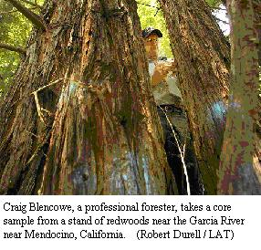Craig Blencowe, a professional forester, takes a core sample from a stand of redwoods near the Garcia River near Mendocino, California.(Robert Durell / LAT)