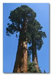 Climbing the redwoods