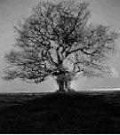 An oak in the field.