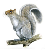 Grey Squirrels